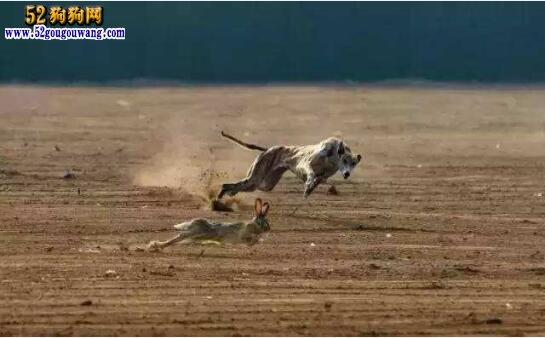 中国细犬的训练方法