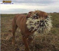 猎犬第一次见到豪猪以为好欺负