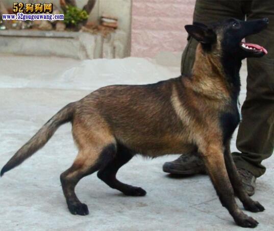 马的习性特点有哪些_马犬的体形外貌特征-马犬-52狗狗网