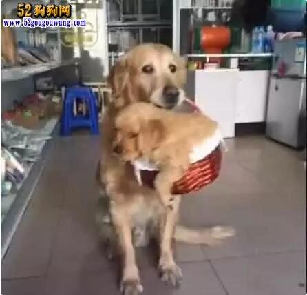 狗主人说要把小金毛送人,狗妈妈做法出乎预料!