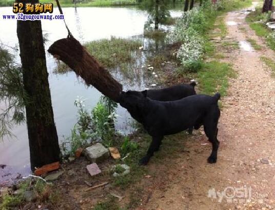卡斯罗犬的历史与发展