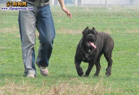 卡斯罗犬训练方法