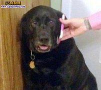 狗狗和女主人人性 接到男主人电