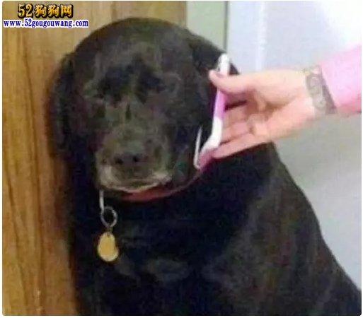 狗狗和女主人人性 接到男主人电话后立刻怂了!