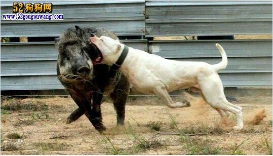 杜高犬的品种简介