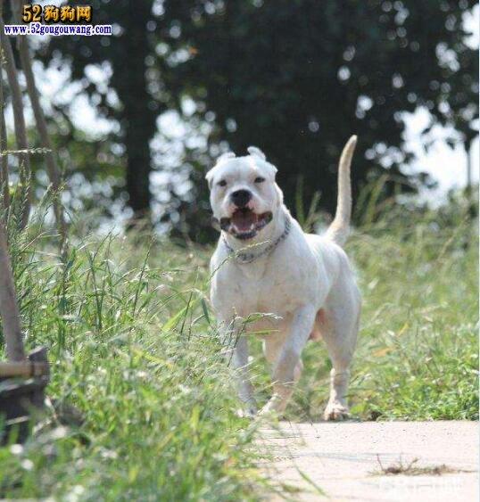 阿根廷杜高犬的历史与发展