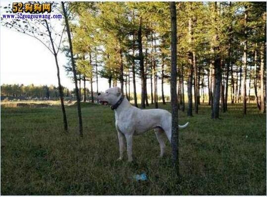 阿根廷杜高犬的性格特征
