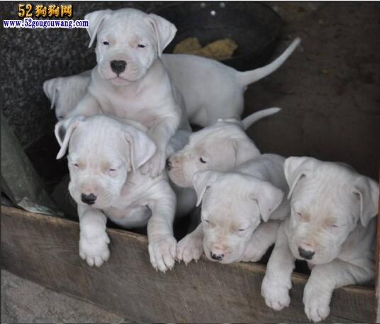 阿根廷杜高犬的饲养方法