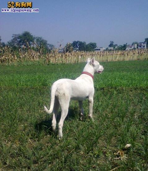 阿根廷杜高犬的生活习性