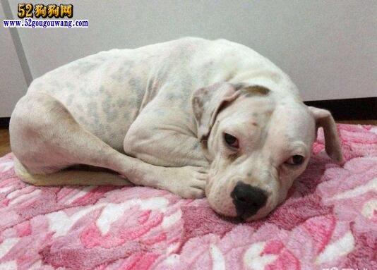 杜高犬的肠胃炎病因、症状及治疗方法