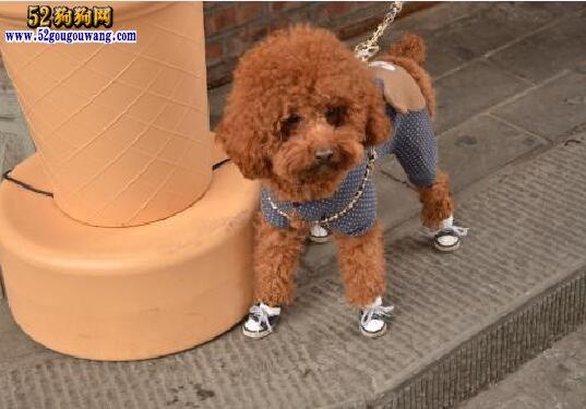 泰迪犬性格