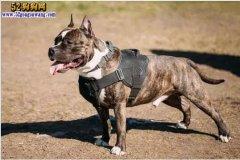 盘点世界上最凶猛的8种烈性犬 都
