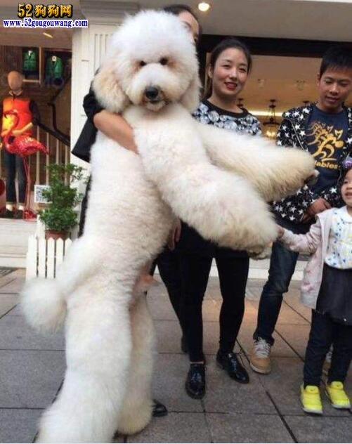 贵宾犬的种类有哪些?