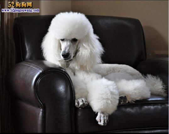标准型贵宾犬