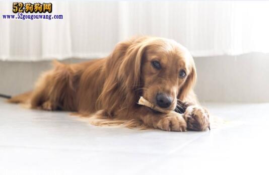 金毛犬的寿命有多大?