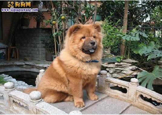 松狮犬如何养 松狮犬人日常饲养知识