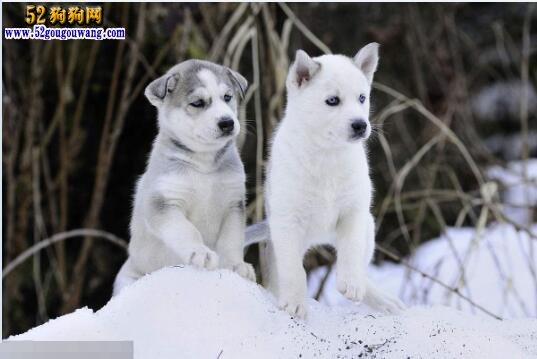 哈士奇幼犬:哈士奇犬幼犬饲养及价格行情