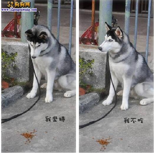 训练哈士奇犬