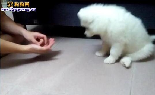 萨摩耶犬的训练方法