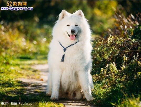 萨摩耶多大 纯种萨摩耶犬的体重标准?