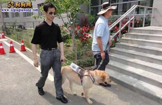 导盲犬拉布拉多