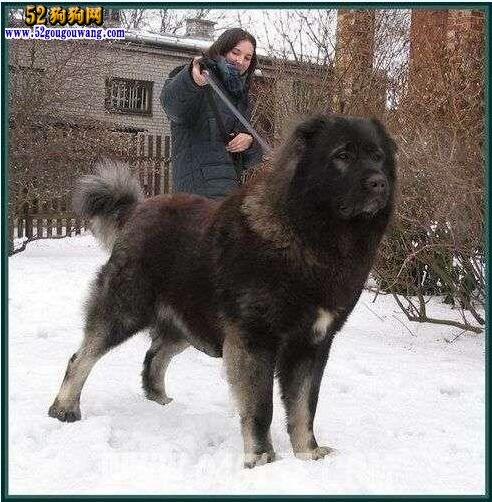 纯种高加索犬