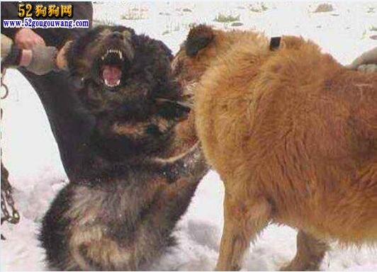 高加索犬秒杀藏獒