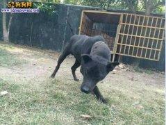 箭毛犬:被埋没的稀有猎犬 数量