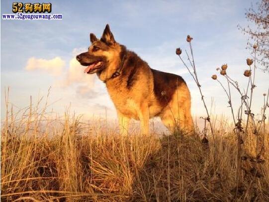 顶级德国牧羊犬警犬品种-世界顶级德国牧羊犬