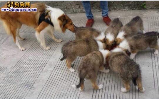 出售苏牧:哪里有卖苏格兰牧羊犬的?