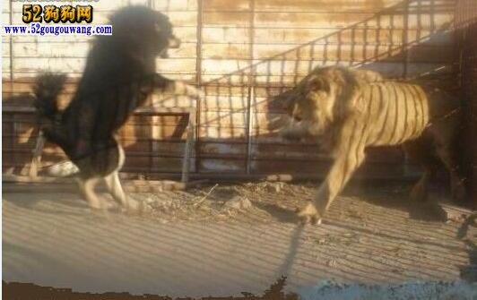 藏獒vs狮子:都说藏獒猛 能打过狮子吗?