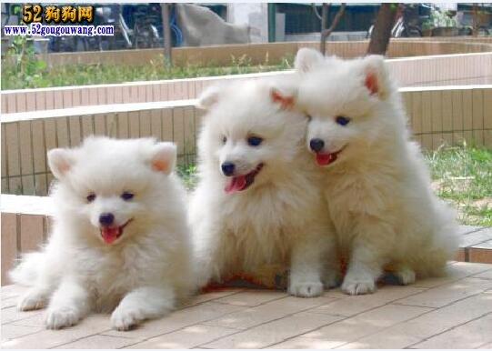 买银狐犬:购买银狐犬注意事项!