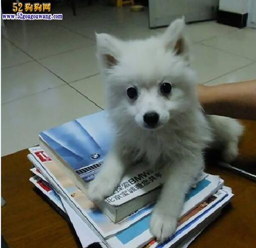 三个月银狐犬有多大?怎么喂养?