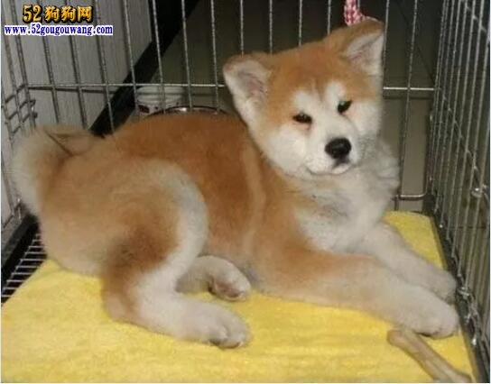 秋田犬一只多少钱?参考价1500元左右!