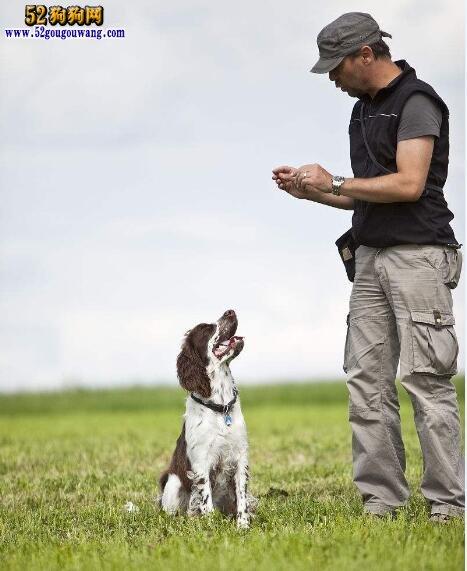 史宾格犬训练:怎样训练史宾格犬?