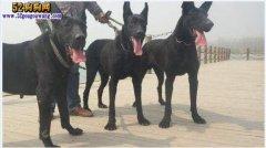 黑狼犬:中国最原始的犬种 忠诚