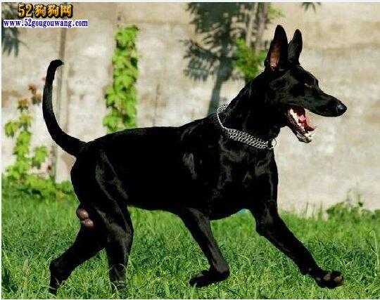 黑狼犬:中国最原始的犬种 忠诚凶猛好战,不亚于藏獒比特