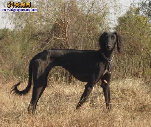 长毛细犬:山东长毛细犬习性与特征