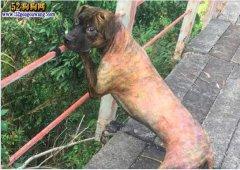 中华虎斑犬:乾隆爷的心爱之犬!