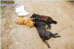 北京一周30多条宠物狗中毒身亡!