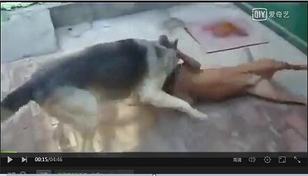 最凶的狼青犬视频