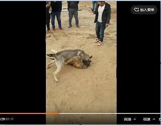 马犬与狼青犬打架视频