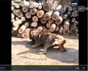 德牧vs狼青犬打架视频