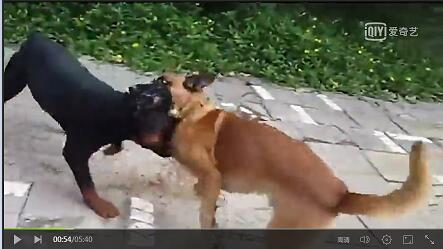 马犬和黑狼犬打架视频