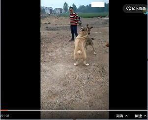 狼青犬vs中亚犬打架视频