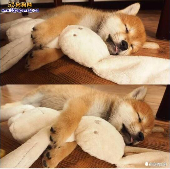 可爱的柴犬