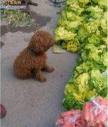 农民带着捡来的泰迪摆摊卖菜 看