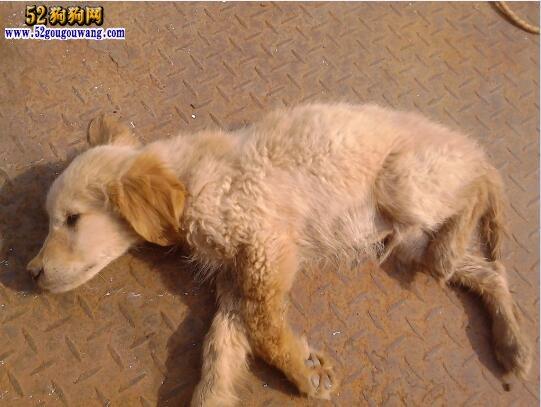金毛犬瘟症状