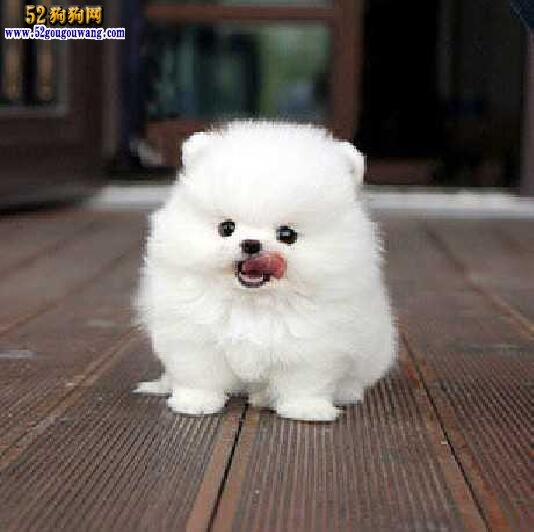 博美犬出售 哪里有卖博美犬的?