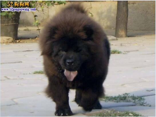 黑松狮犬价格 黑色松狮多少钱一只?